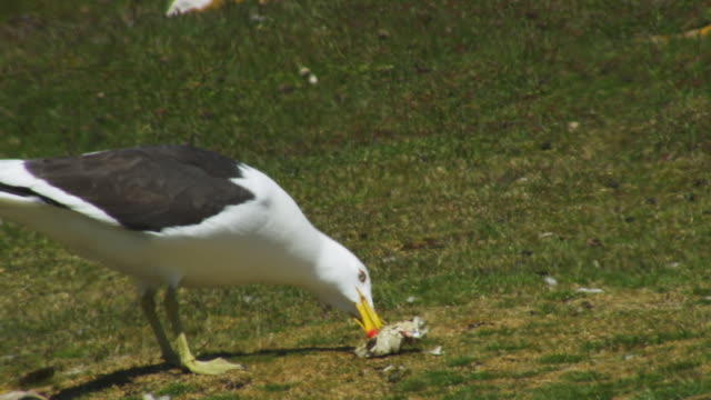 ms kelp gull eating from egg on grass - sea bird stock videos and b-roll footage