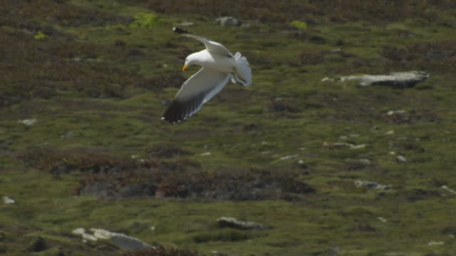 Kelp Gull flies over moorland by Rockhopper Penguin colony dropping vertically
