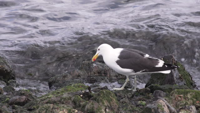 Kelp Gull near water's edge, Ushuaia area, Argentina