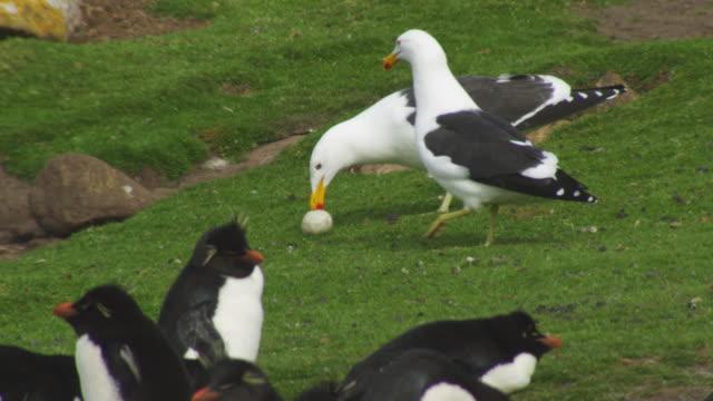 SLOMO 2 Kelp Gulls eat Rockhopper Penguin egg with adults in foreground