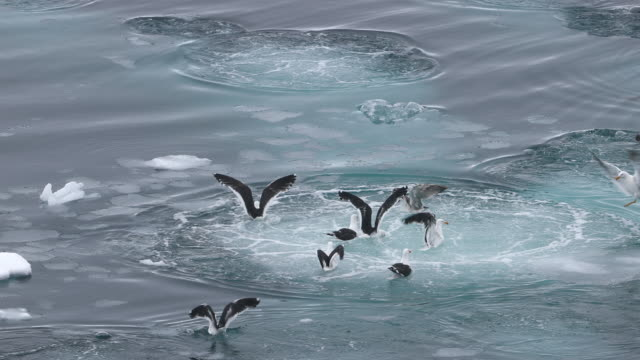 Kelp Gulls feeding above Bubble-net feeding Humpbacks (underwater)