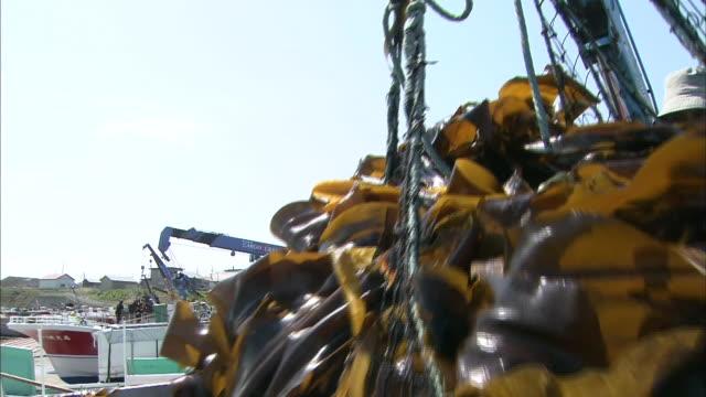 Kelp Harvesting In Hokkaido