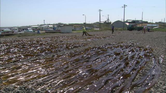 kelp harvesting in hokkaido - algae stock videos & royalty-free footage