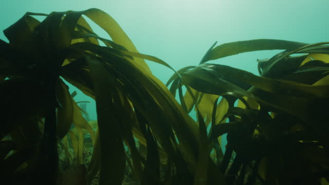 kelp laminaria forest moving in current - aquatic organism stock videos & royalty-free footage