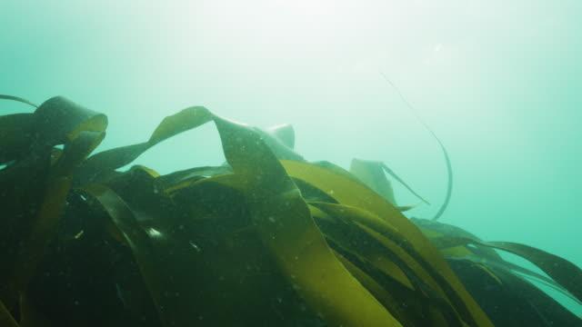 vídeos de stock e filmes b-roll de kelp laminaria moving in current in slow motion - acidificação dos oceanos