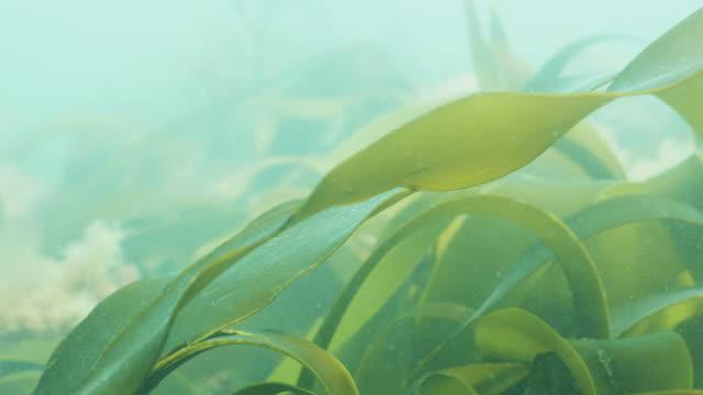 vídeos de stock e filmes b-roll de kelp laminaria moving in current, sun rays reflecting - acidificação dos oceanos