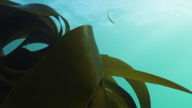 vídeos de stock e filmes b-roll de kelp laminaria moving in current with - acidificação dos oceanos