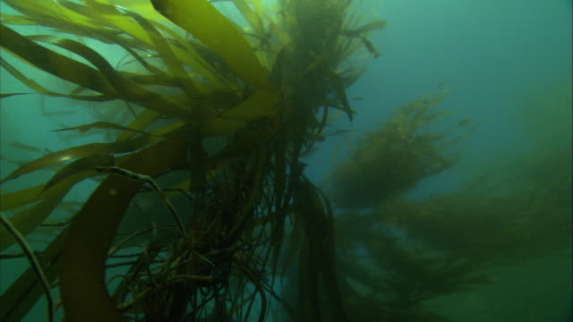 Kelp moves with the current of the ocean underwater. Available in HD.