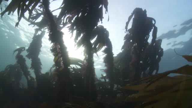 vídeos de stock e filmes b-roll de kelp moving in the current - acidificação dos oceanos