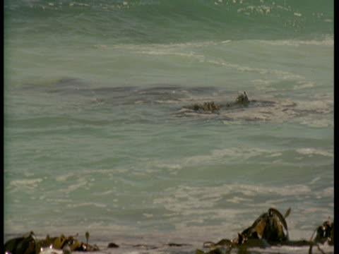 kelp rides the waves in to shore. - kelp stock videos & royalty-free footage