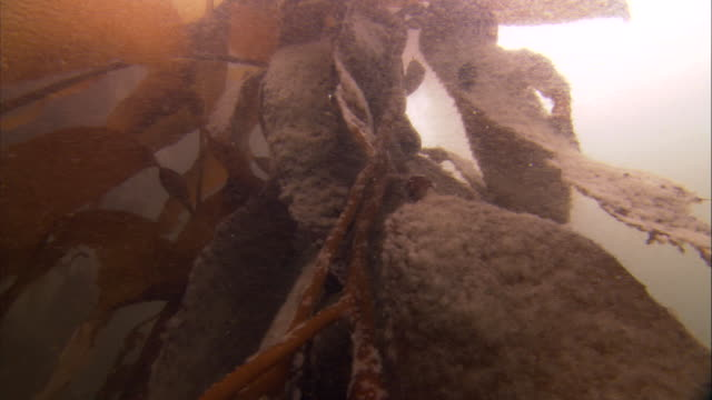 kelp strands sway in underwater currents. available in hd. - kelp stock-videos und b-roll-filmmaterial