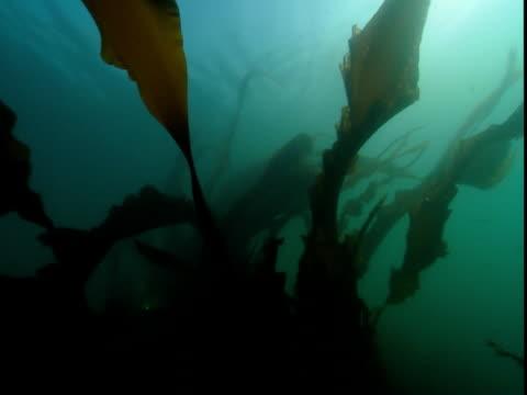 kelp sways in an ocean current. - kelp stock videos & royalty-free footage