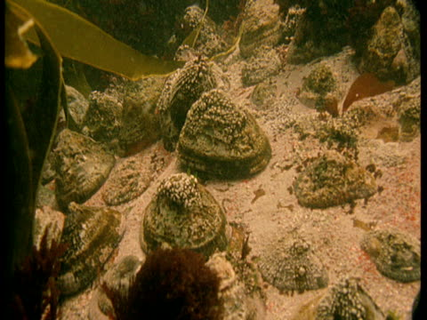 kelp sways over limpets on the seabed. - kelp stock videos & royalty-free footage