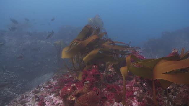 kelp waving in sea current - kelp stock videos & royalty-free footage