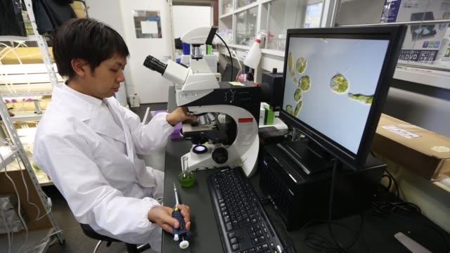 vídeos y material grabado en eventos de stock de kengo suzuki head of research and development at euglena co looks at euglena a singlecelled microscopic algae known as midorimushi in japanese... - animal microscópico
