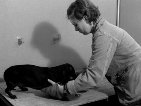 vídeos de stock, filmes e b-roll de a kennel maid grooms a dachshund at a quarantine kennels - pet equipment