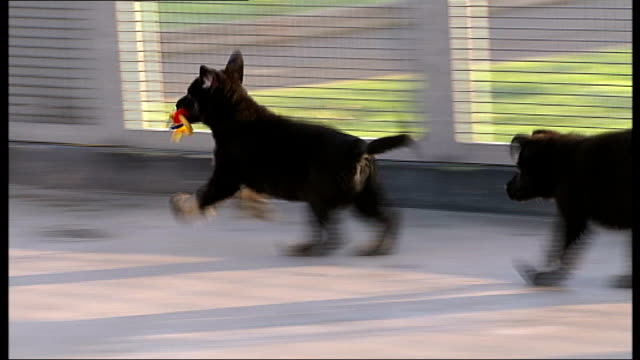 Kent Keston Police Dog Training Establishment EXT Sevenweekold Alsation puppy dogs playing in kennel