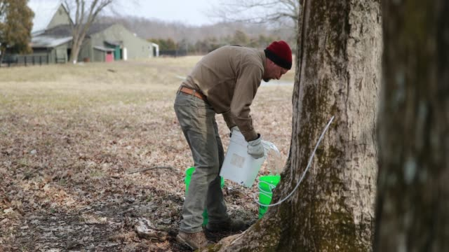 kent macpherson gathers maple tree sap from taps to help make wood fired maple syrup at the knightridge farmstand sunday march 10 2019 in bloomington... - maple syrup stock videos & royalty-free footage