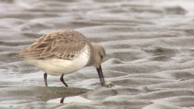 Kentish Plover Grabbing Food From Another Bird, Dunlin
