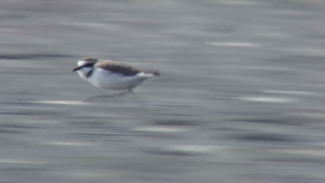 kentish plover trying to grab food from another bird, dunlin - 犯罪点の映像素材/bロール