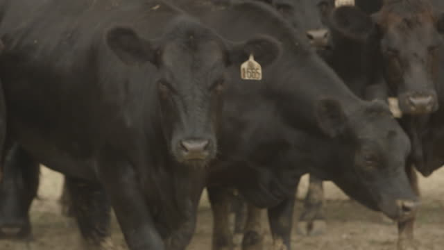 kentucky - beef cattle stock videos & royalty-free footage