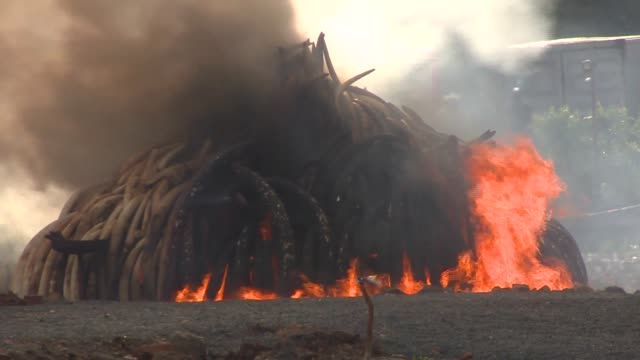 kenya burned 105 tons of elephant ivory 1.35 tons of rhino horn to smoldering ash—the final remains of some 6,500 elephants and 450 rhinos killed for... - burning stock videos & royalty-free footage
