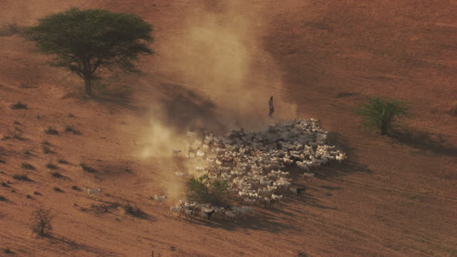 kenya dadaab : herd of cattle near the refugee camp - livestock stock videos & royalty-free footage