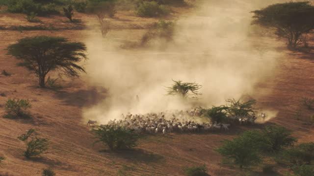 Kenya Dadaab : Herd of cattle near the refugee camp
