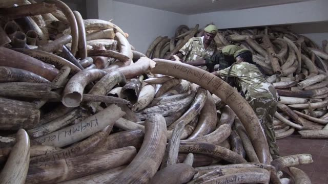 kenya is preparing to burn africas biggest ever stockpile of poached ivory a total of 105 tonnes from 8,000 elephants in a symbolic move aimed at... - trafficking stock videos & royalty-free footage