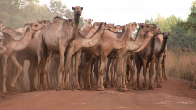 kenya, meru, a herd of camels gathered along a red country road - camel stock videos & royalty-free footage