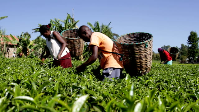 Kenya, Meru, agriculture, farmers picking tea leaves