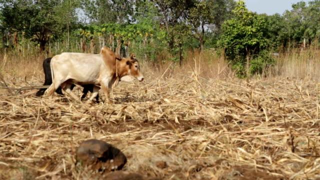 stockvideo's en b-roll-footage met kenya, meru, agriculture, man plowing a field with a pair of oxen. - werkdier