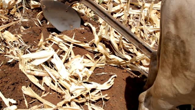 kenya, meru, agriculture, plow pulled by oxen - 働く動物点の映像素材/bロール