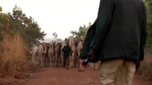 vídeos de stock e filmes b-roll de kenya, meru, herd of camels gathered along a red country road - mamífero ungulado