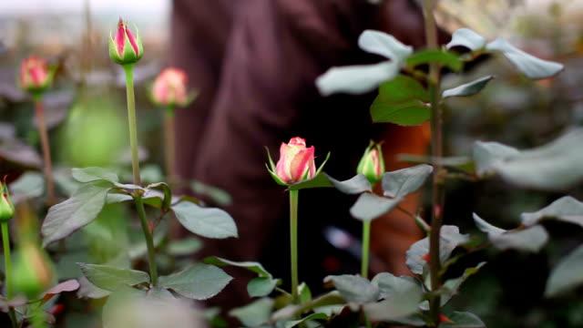 kenya, simbi roses, thika, production of fair trade roses - gewächshäuser stock-videos und b-roll-filmmaterial