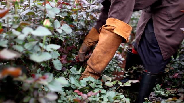 kenya, simbi roses, thika, production of fair trade roses - pruning stock videos & royalty-free footage