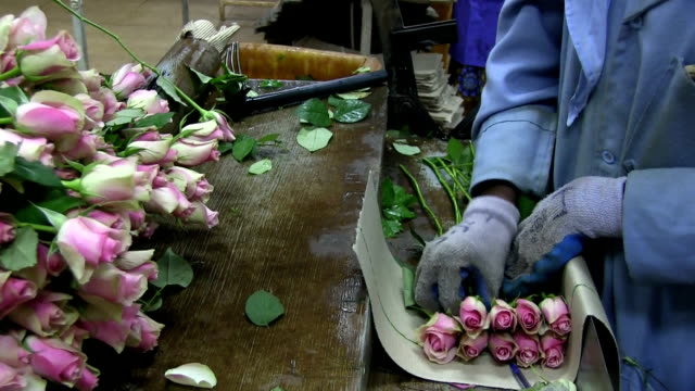 kenya, simbi roses, thika, production of fair trade roses - rose stock videos & royalty-free footage