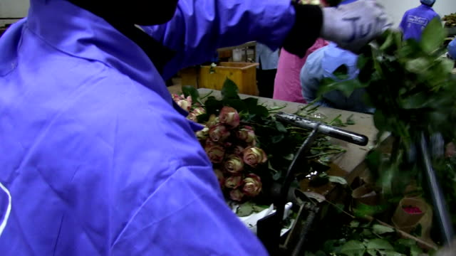 kenya, simbi roses, thika, production of fair trade roses - kenya stock videos & royalty-free footage