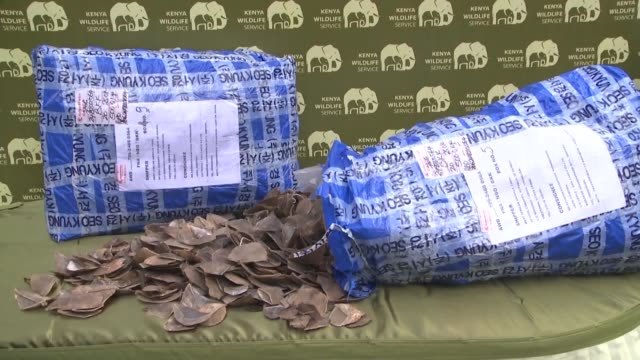 kenyan authorities say they have seized a consignment of 500kg of pangolin scales believed to be worth 300 million kenyan shillings [2,62 million... - pangolino video stock e b–roll