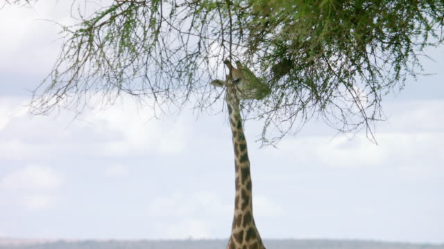 ms tu kenyan giraffe and zebra standing on landscape, grazing in day / kenya - grasen stock-videos und b-roll-filmmaterial