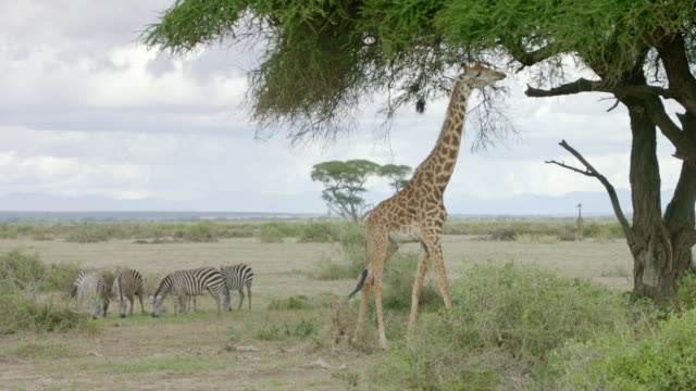 WS Kenyan giraffe eating from tree and zebras grazing in the background / Kenya