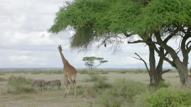 WS Kenyan giraffe eating from tree and zebras grazing in the background / Kenya