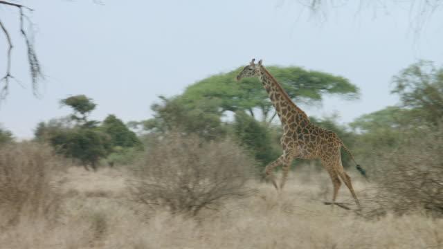 ms pan kenyan giraffe running through savanna / kenya - giraffe stock videos & royalty-free footage