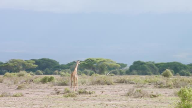 WS Kenyan giraffe walking on savanna / Kenya