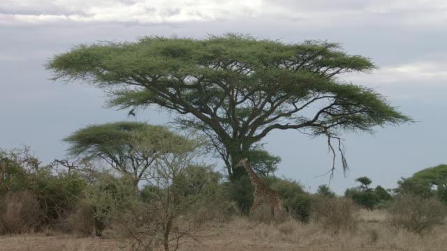 MS Kenyan giraffe walking on savanna landscape / Kenya