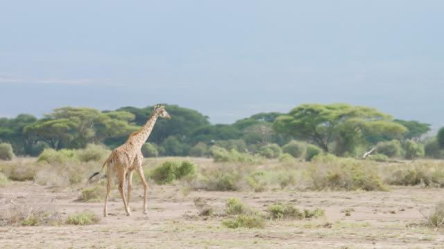 WS PAN Kenyan giraffe walking on savanna landscape / Kenya