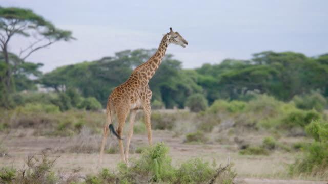 ws kenyan giraffe walking on savanna landscape / kenya - サファリ動物点の映像素材/bロール