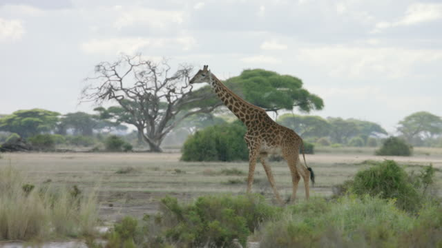 WS PAN Kenyan giraffe walking on savanna landscape / Kenya