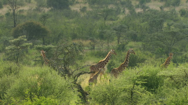 ws aerial kenyan giraffes standing on landscape / kenya - alertness stock videos & royalty-free footage
