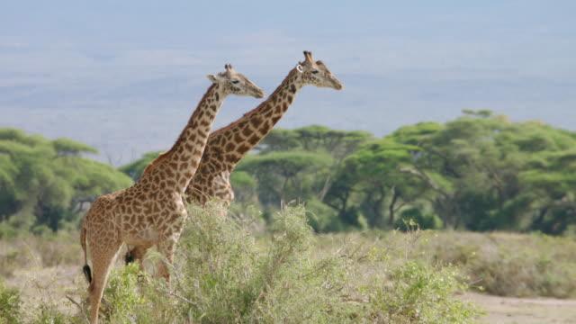 vídeos de stock, filmes e b-roll de ws kenyan giraffes walking on savanna landscape / kenya - girafa